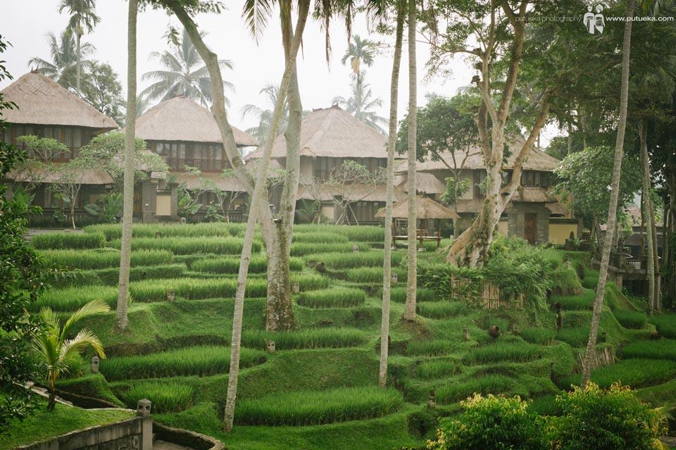 Rice terrace inside Kamandalu Resort Ubud Bali
